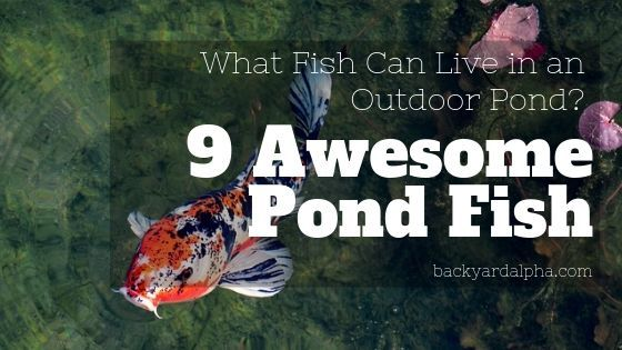 What Type of Fish Can Live in an Outdoor Pond 9 Awesome Options!