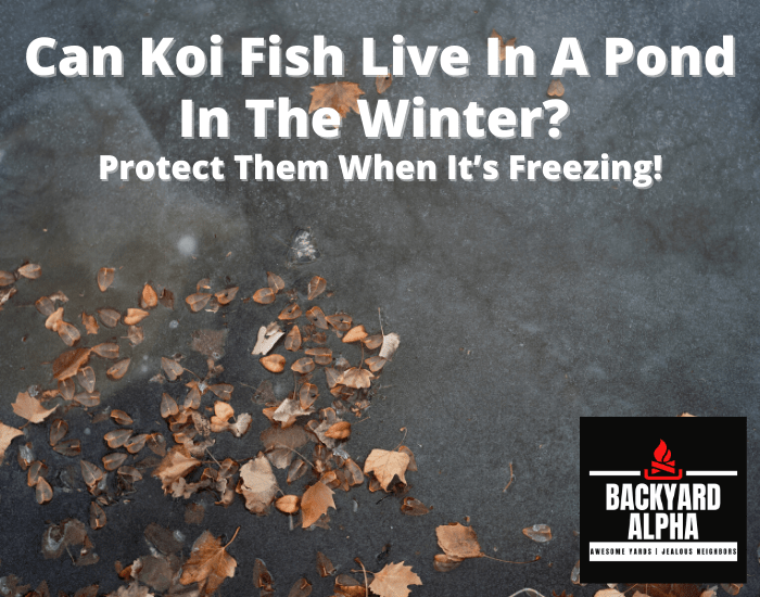 Can Koi Fish Live In A Pond In The Winter Protect Them When It's Freezing!