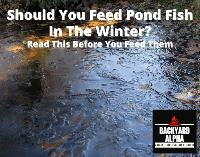 Should You Feed Pond Fish In The Winter